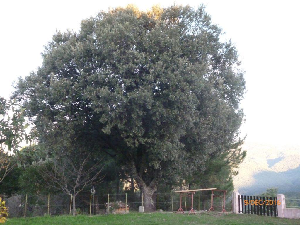 chêne 1 avant